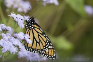 Monarch7