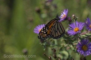 monarch6