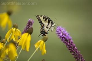 yellowbutterfly1
